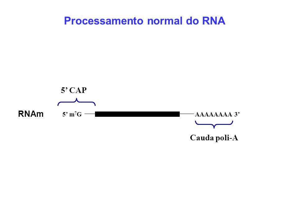 Cauda poli-A AAAAAAAA 3 5 m 7 G 5 CAP RNAm Processamento normal do RNA