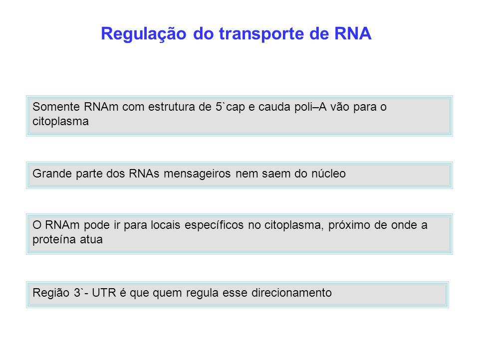 Regulação do transporte de RNA O RNAm pode ir para locais específicos no citoplasma, próximo de onde a proteína atua Região 3`- UTR é que quem regula