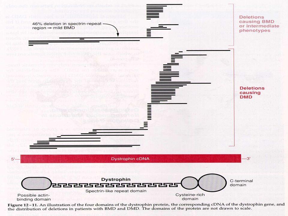 5.4- DIAGNÓSTICO PRÉ-NATAL E DETECÇÃO DE HETEROZIGOTOS: Nas famílias em que a mutação é por deleção ou por duplicação é possível o diagnóstico pré-natal através das técnicas de DNA de Southern e PCR.