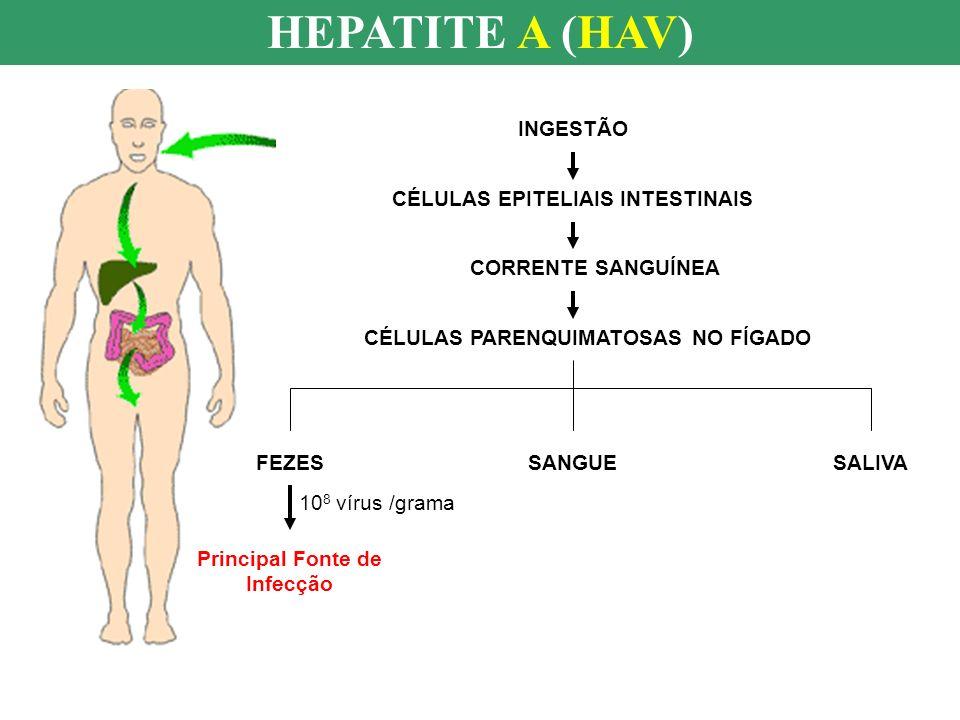 HEPATITE A (HAV) INGESTÃO CÉLULAS EPITELIAIS INTESTINAIS CORRENTE SANGUÍNEA CÉLULAS PARENQUIMATOSAS NO FÍGADO FEZESSANGUESALIVA Principal Fonte de Inf
