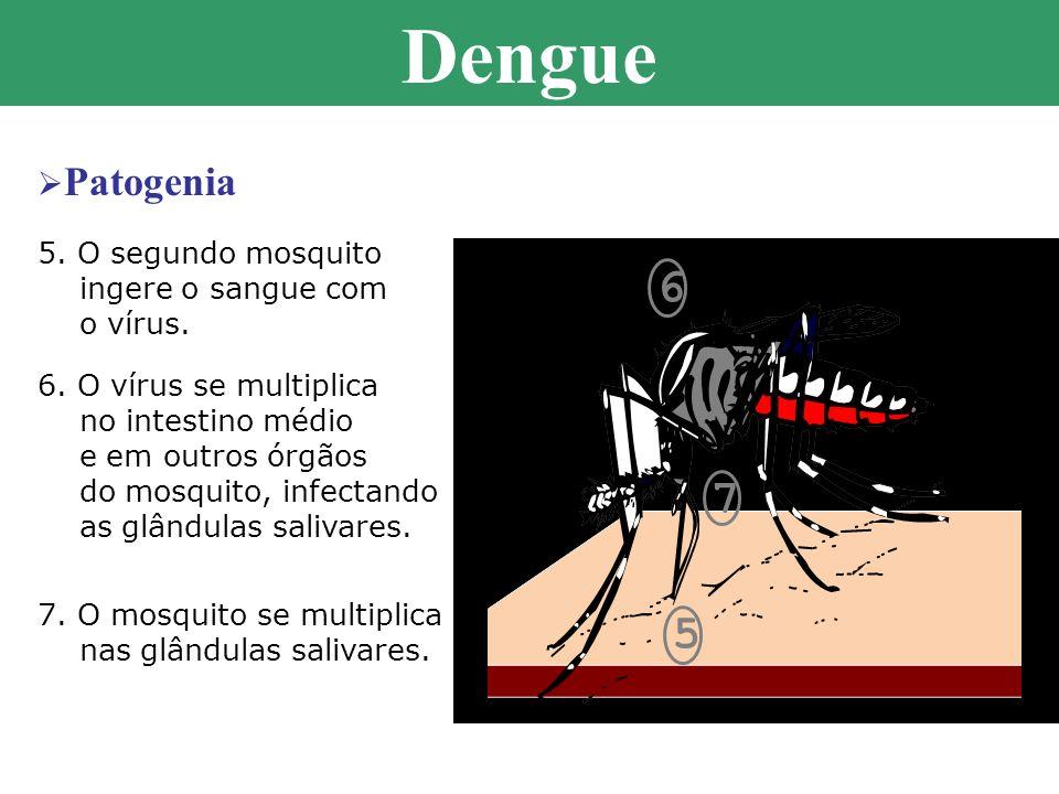 6 7 5 5. O segundo mosquito ingere o sangue com o vírus. 6. O vírus se multiplica no intestino médio e em outros órgãos do mosquito, infectando as glâ
