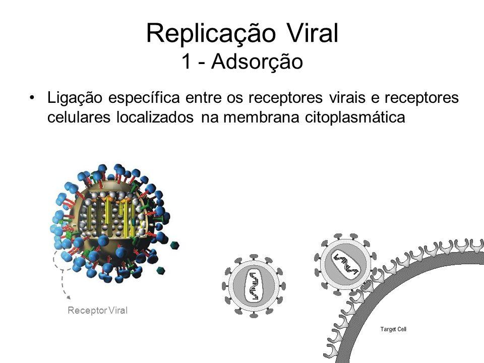 Replicação Viral 1 - Adsorção Ligação específica entre os receptores virais e receptores celulares localizados na membrana citoplasmática Receptor Vir