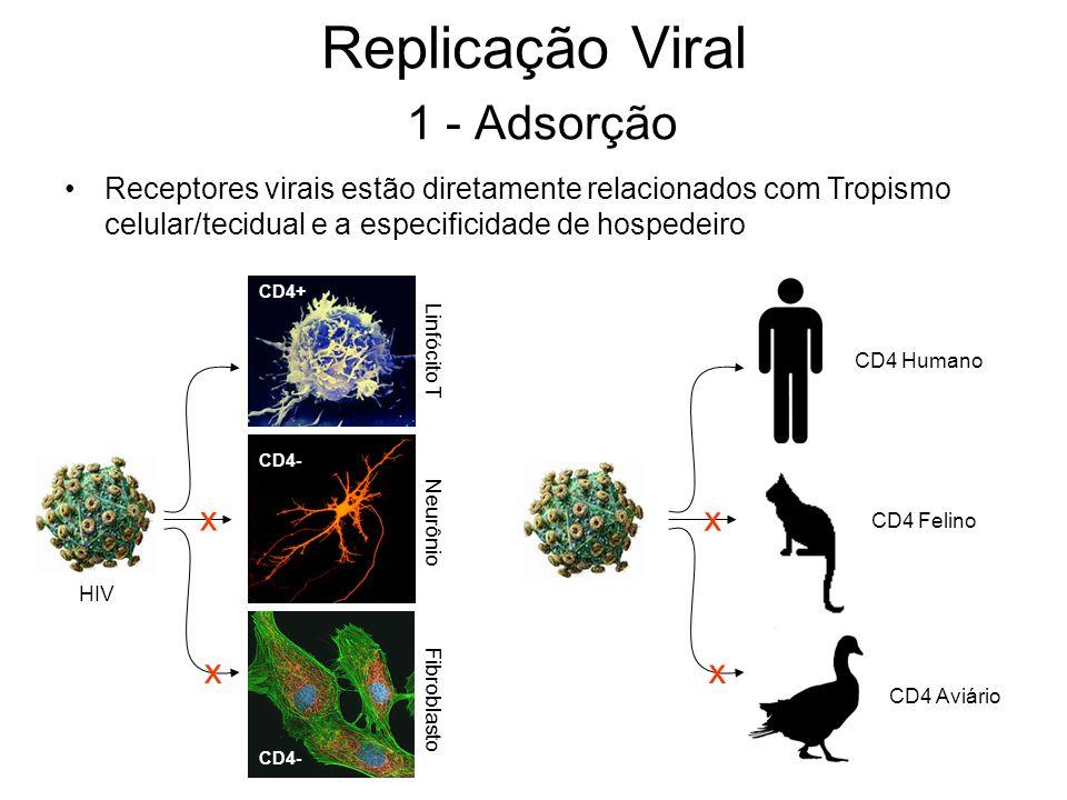 Replicação Viral 1 - Adsorção Receptores virais estão diretamente relacionados com Tropismo celular/tecidual e a especificidade de hospedeiro Linfócit
