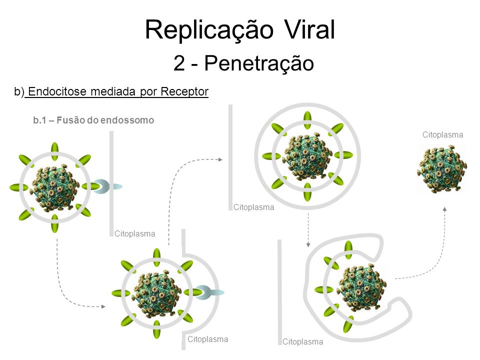 Replicação Viral 2 - Penetração b) Endocitose mediada por Receptor b.1 – Fusão do endossomo Citoplasma