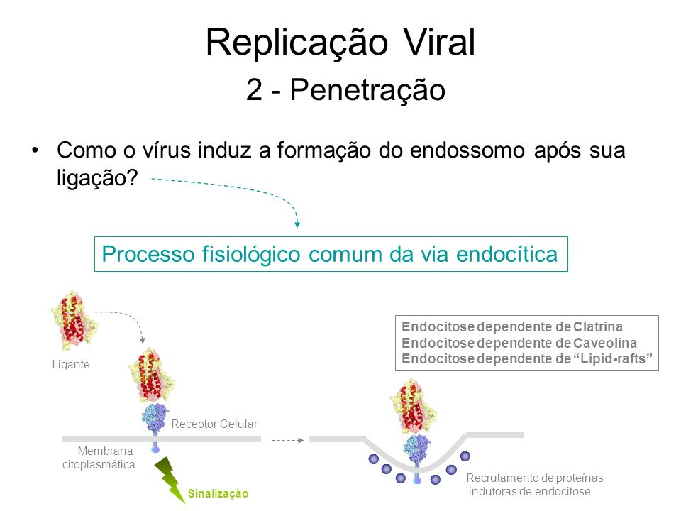 Ligante Sinalização Como o vírus induz a formação do endossomo após sua ligação? Processo fisiológico comum da via endocítica Receptor Celular Membran