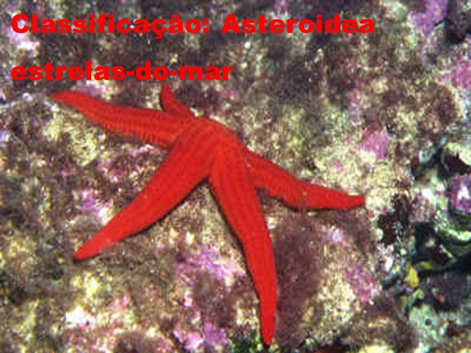Classificação: Asteroidea estrelas-do-mar