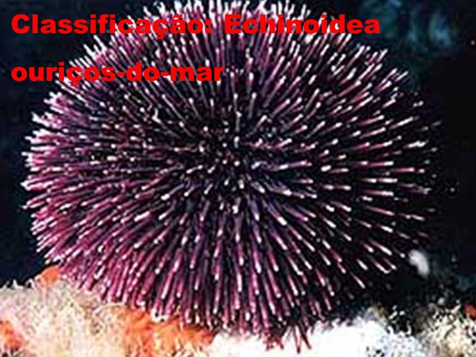 Classificação: Echinoidea ouriços-do-mar