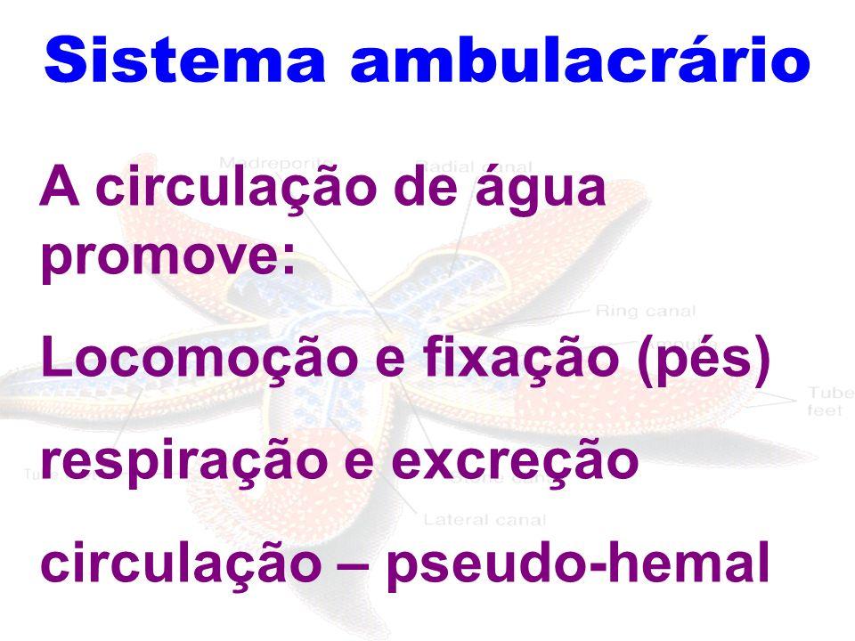 Sistema ambulacrário A circulação de água promove: Locomoção e fixação (pés) respiração e excreção circulação – pseudo-hemal