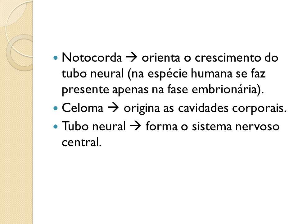 Notocorda orienta o crescimento do tubo neural (na espécie humana se faz presente apenas na fase embrionária). Celoma origina as cavidades corporais.