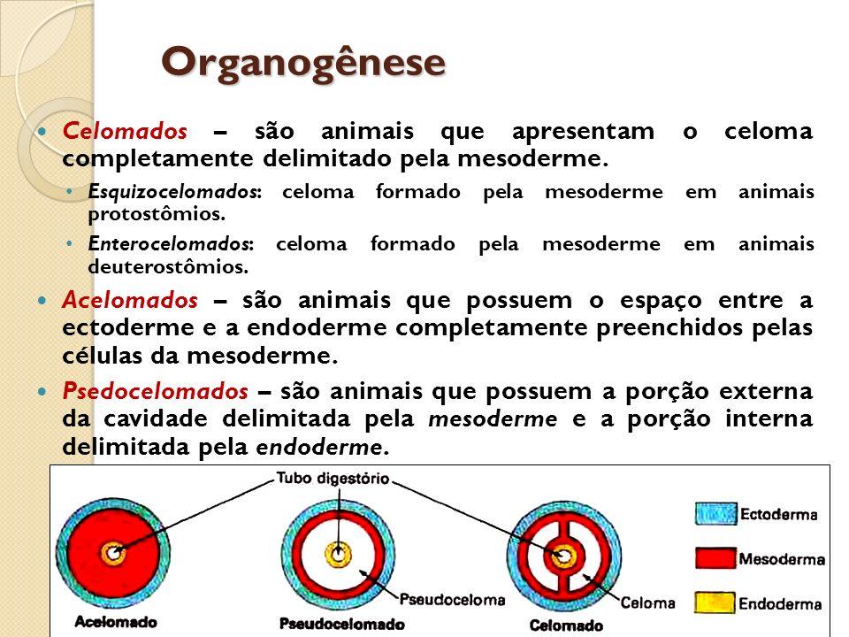 Organogênese Celomados – são animais que apresentam o celoma completamente delimitado pela mesoderme. Esquizocelomados: celoma formado pela mesoderme