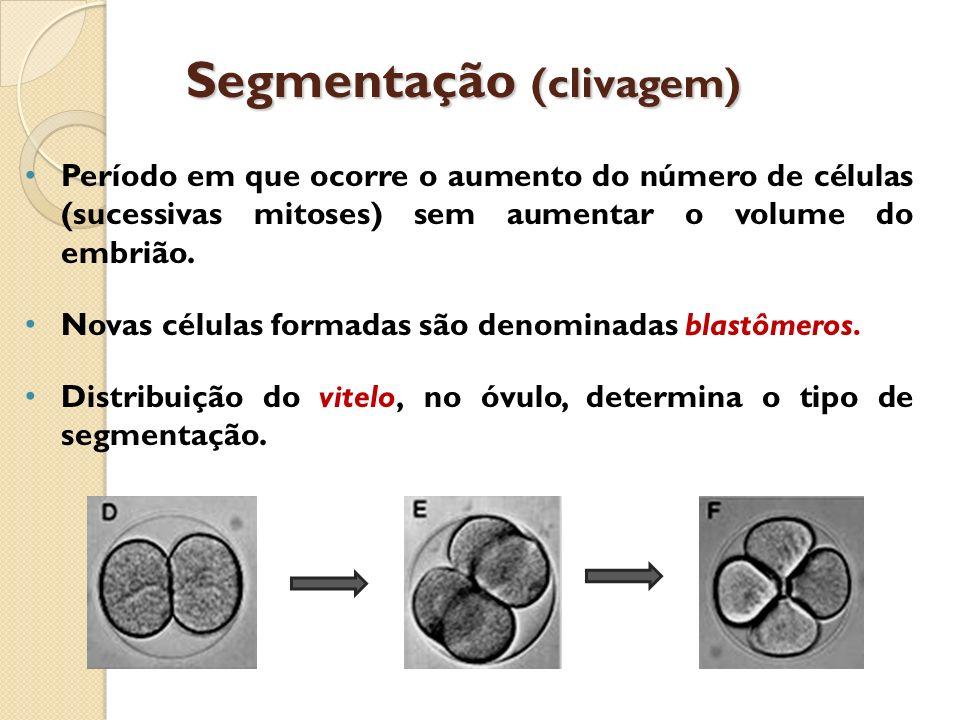 Segmentação (clivagem) Período em que ocorre o aumento do número de células (sucessivas mitoses) sem aumentar o volume do embrião. Novas células forma