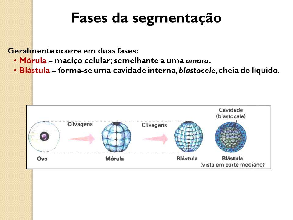 Fases da segmentação Geralmente ocorre em duas fases: Mórula – maciço celular; semelhante a uma amora. Blástula – forma-se uma cavidade interna, blast