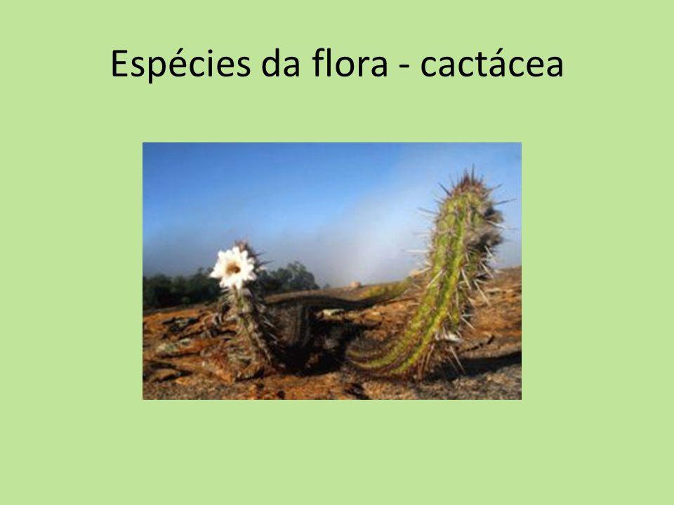 Espécies da flora - cactácea