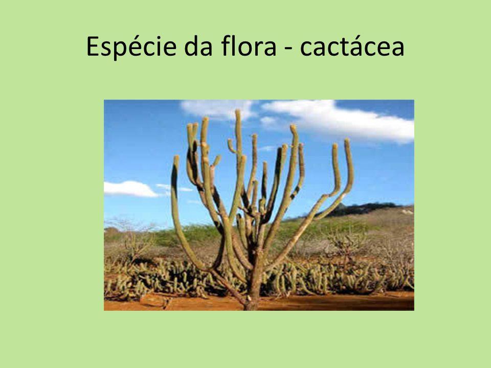 Espécie da flora - cactácea