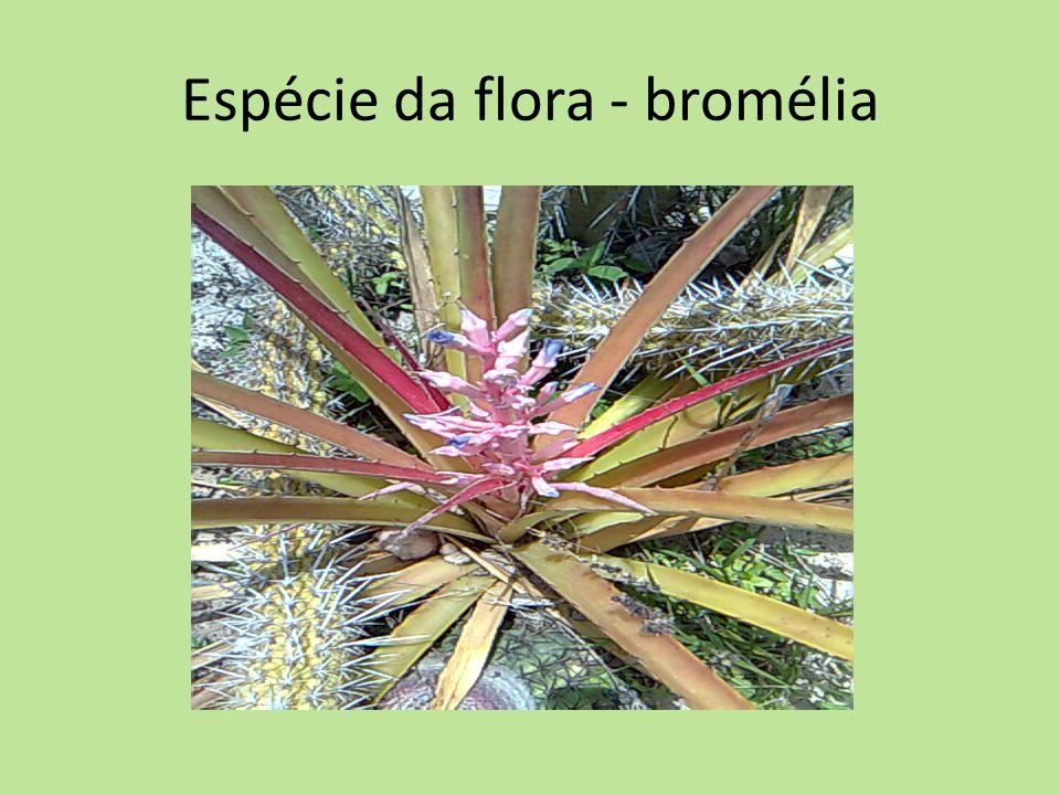 Espécie da flora - bromélia