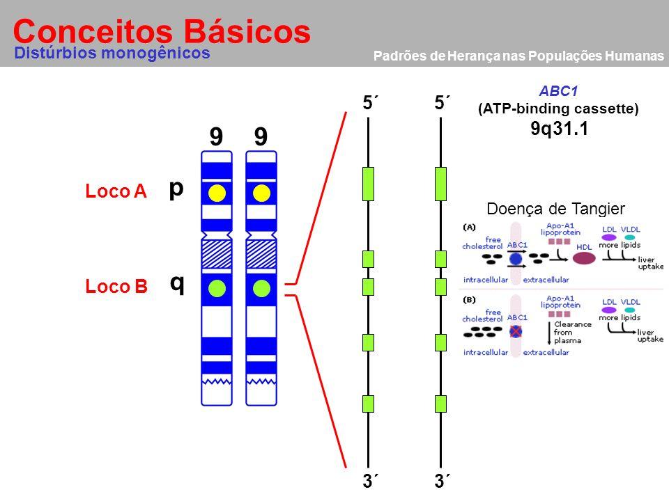 Padrões de Herança nas Populações Humanas Conceitos Básicos Alelo 9 p q AA bb 9 Distúrbios monogênicos Loco A Loco B Homozigoto