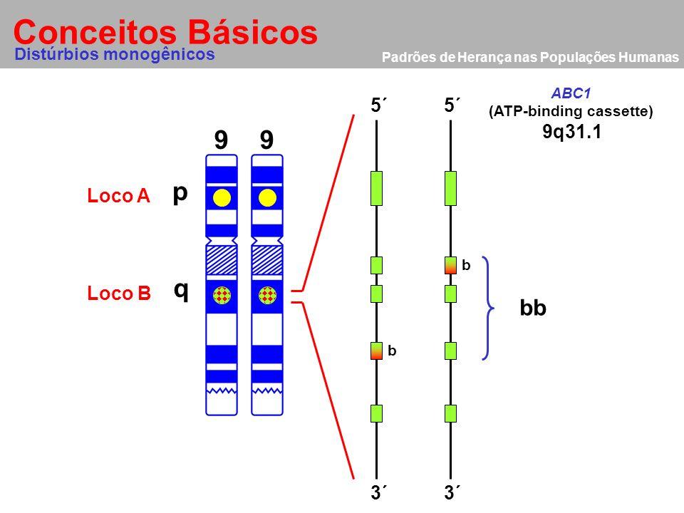 Padrões de Herança nas Populações Humanas Conceitos Básicos 9 p q 9 Distúrbios monogênicos Loco A Loco B 5´ 3´ 9q31.1 ABC1 (ATP-binding cassette) bb b