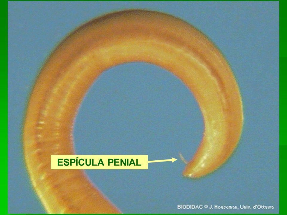 Ancylostoma brasiliensis