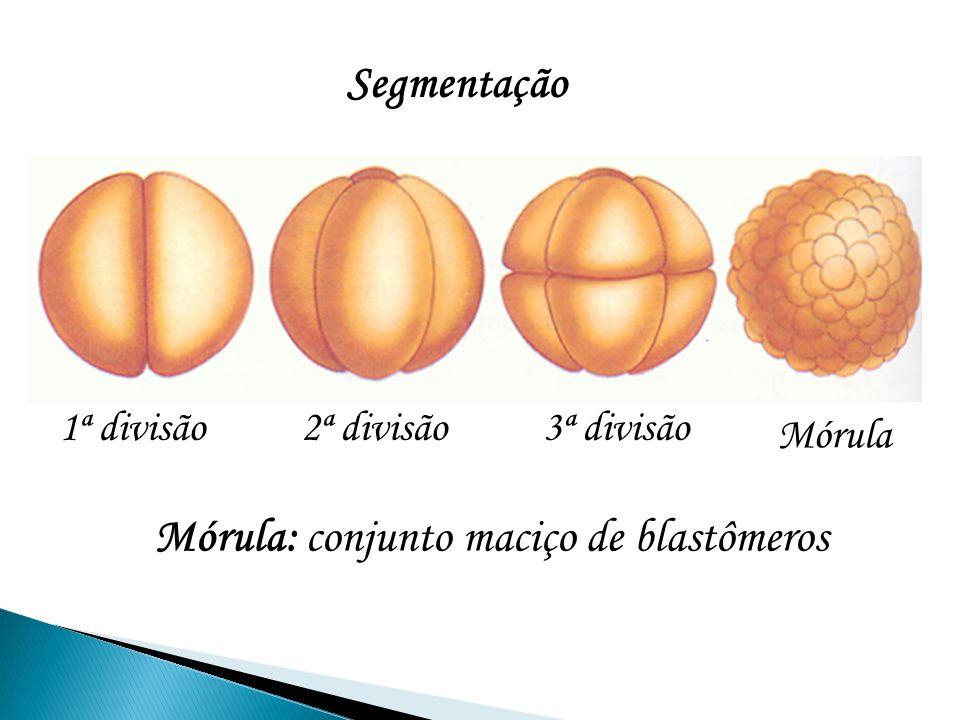 1ª divisão3ª divisão2ª divisão Mórula Segmentação Mórula: conjunto maciço de blastômeros