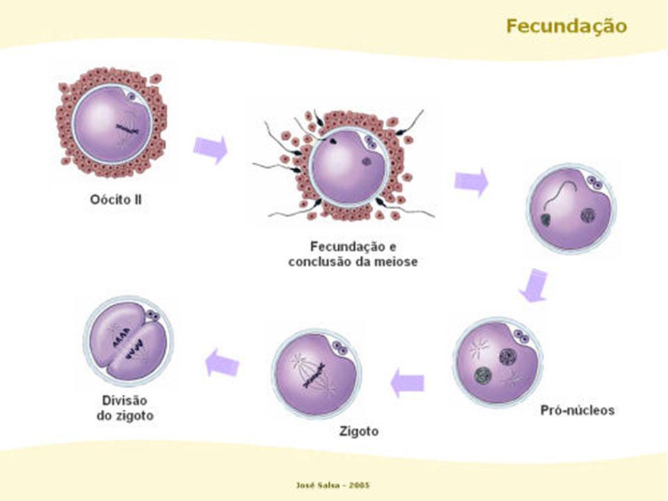 Classificados conforme a quantidade e distribuição do vitelo ou lécito (reserva de lipídio e proteína ) em: Oligolécito Heterolécito Telolécito Centrolécito