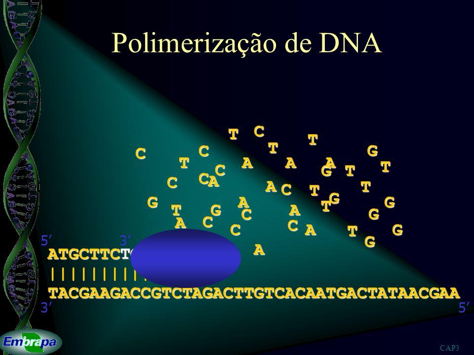 CAP3 Polimerização de DNA TACGAAGACCGTCTAGACTTGTCACAATGACTATAACGAA |||||||||| 53 ATGCTTCTG 53A A A A AA A A A A T T T T T T T T T T T G G G G G G G G