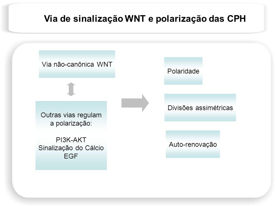 Via não-canônica WNT Divisões assimétricas Polaridade Auto-renovação Outras vias regulam a polarização: PI3K-AKT Sinalização do Cálcio EGF Via de sina