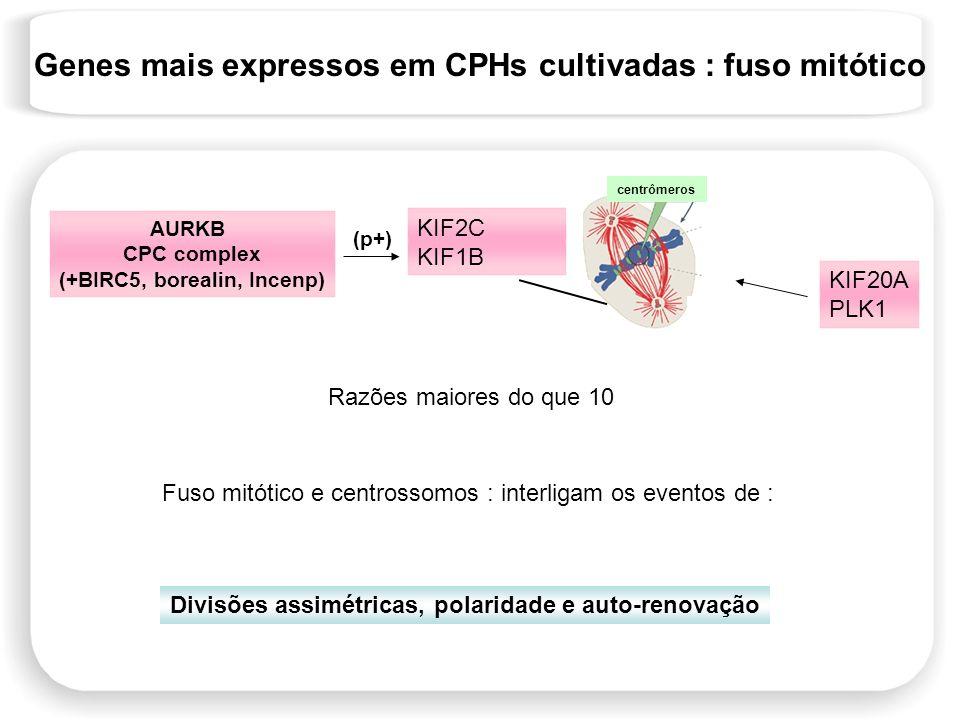 KIF2C KIF1B AURKB CPC complex (+BIRC5, borealin, Incenp) (p+) centrômeros KIF20A PLK1 Fuso mitótico e centrossomos : interligam os eventos de : Divisõ