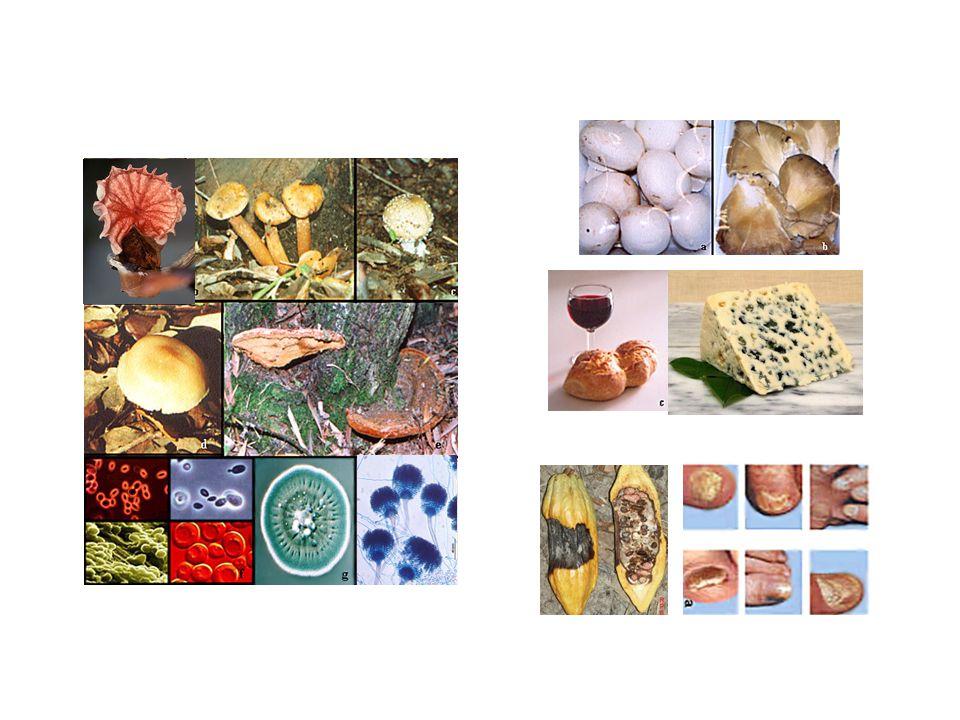 Laboratório de Genética e Biologia Molecular de Fungos (FMRP): Profa.