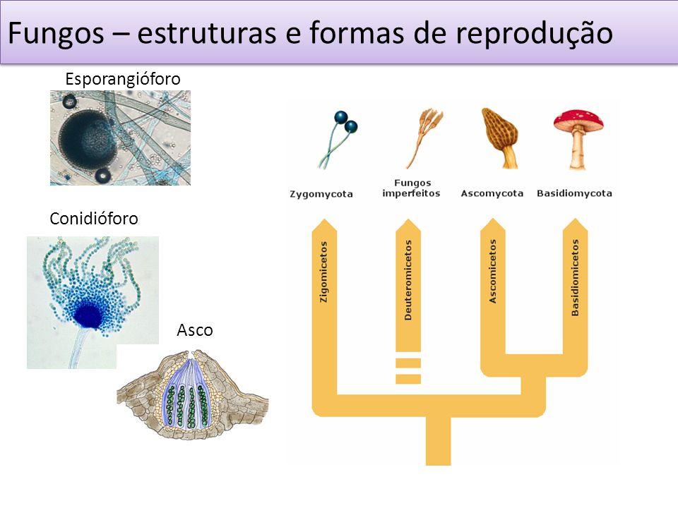 Fungos – estruturas e formas de reprodução Esporangióforo Conidióforo Asco