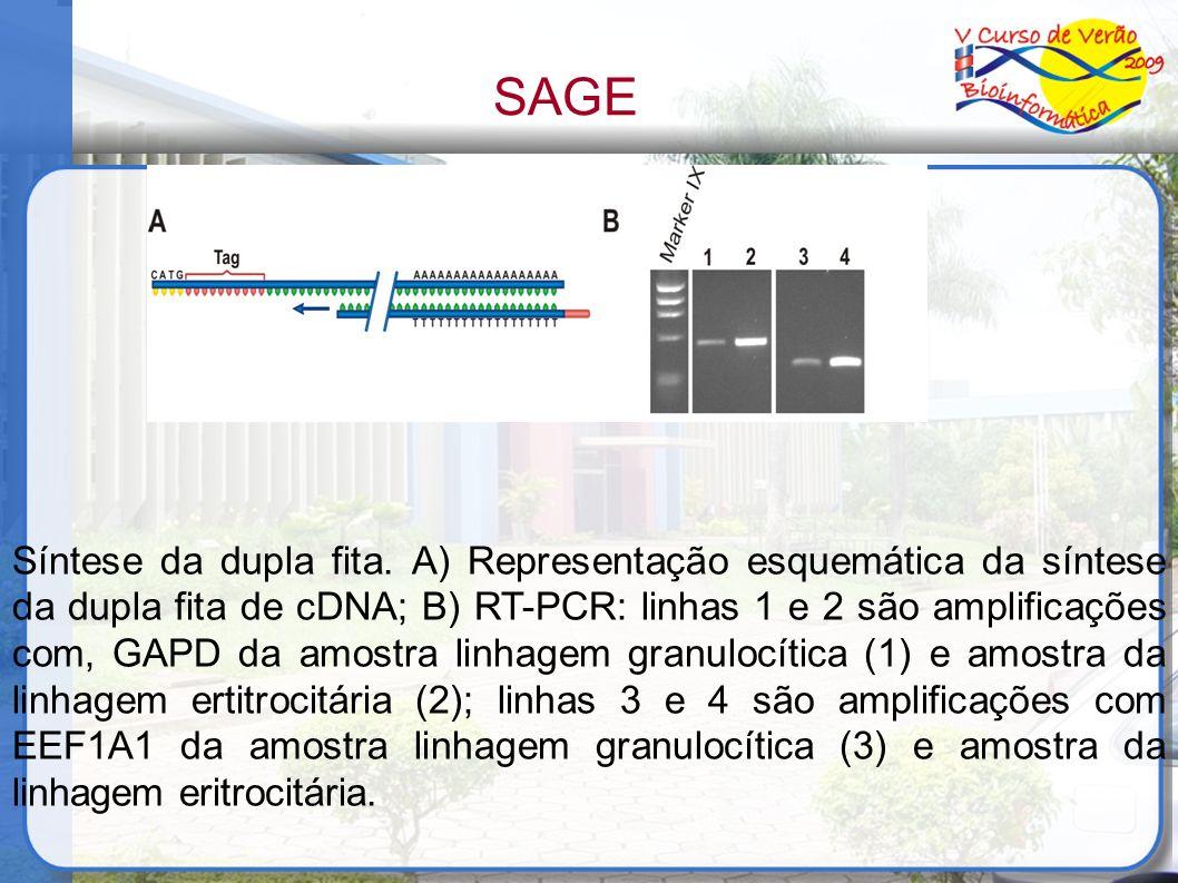 Síntese da dupla fita. A) Representação esquemática da síntese da dupla fita de cDNA; B) RT-PCR: linhas 1 e 2 são amplificações com, GAPD da amostra l