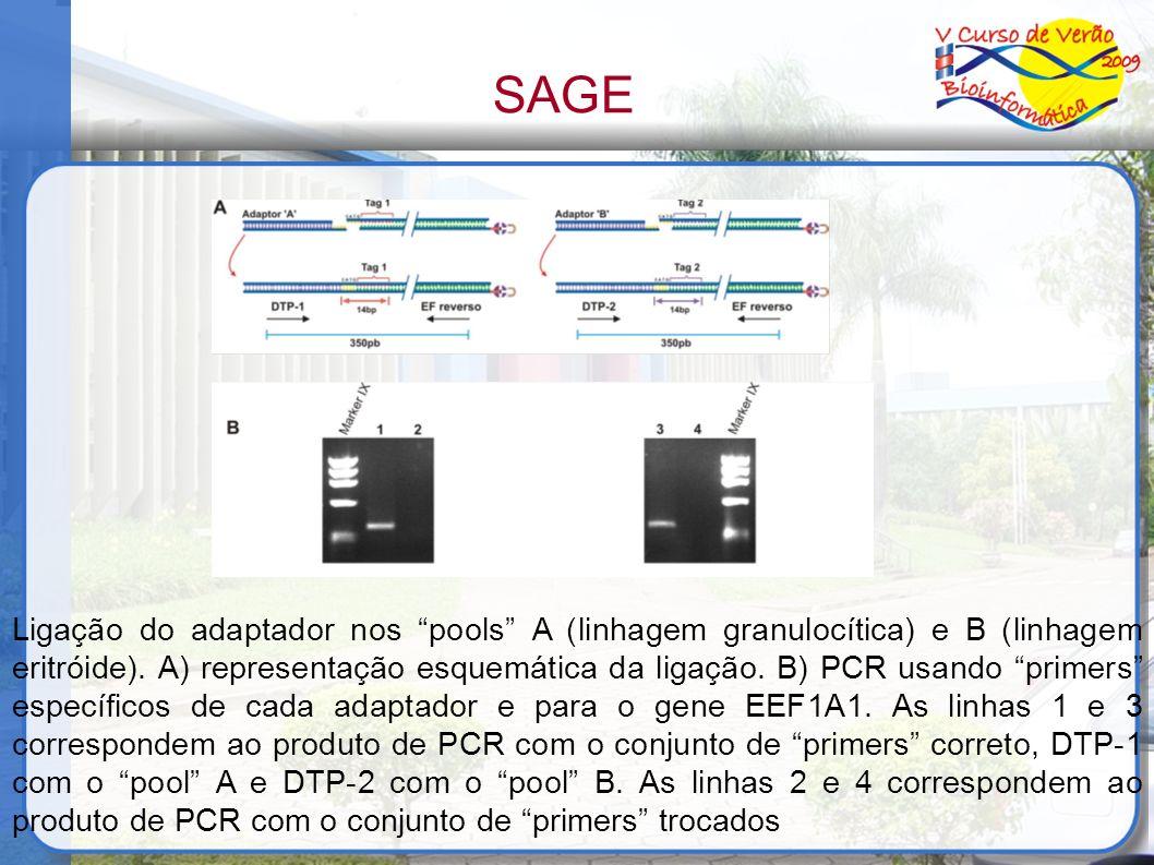 Ligação do adaptador nos pools A (linhagem granulocítica) e B (linhagem eritróide). A) representação esquemática da ligação. B) PCR usando primers esp