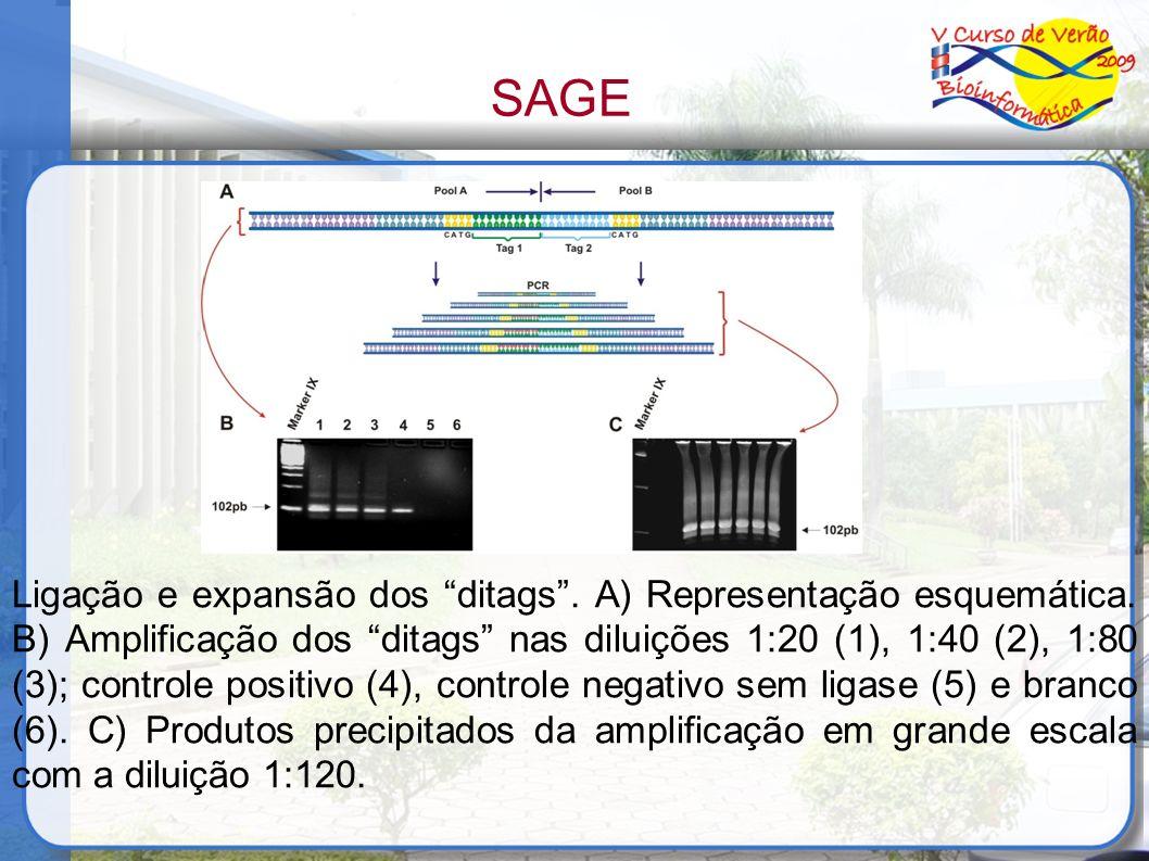 Ligação e expansão dos ditags. A) Representação esquemática. B) Amplificação dos ditags nas diluições 1:20 (1), 1:40 (2), 1:80 (3); controle positivo