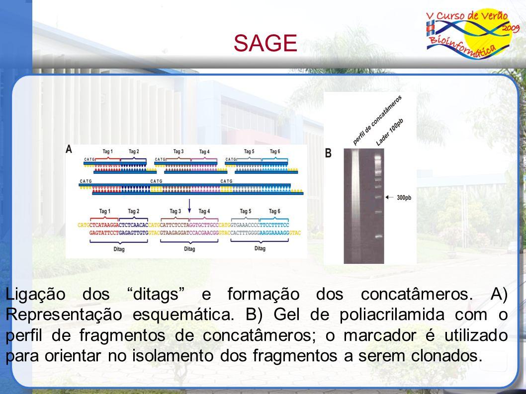 Ligação dos ditags e formação dos concatâmeros. A) Representação esquemática. B) Gel de poliacrilamida com o perfil de fragmentos de concatâmeros; o m