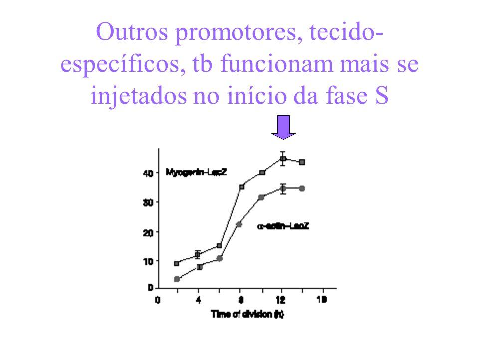 Outros promotores, tecido- específicos, tb funcionam mais se injetados no início da fase S
