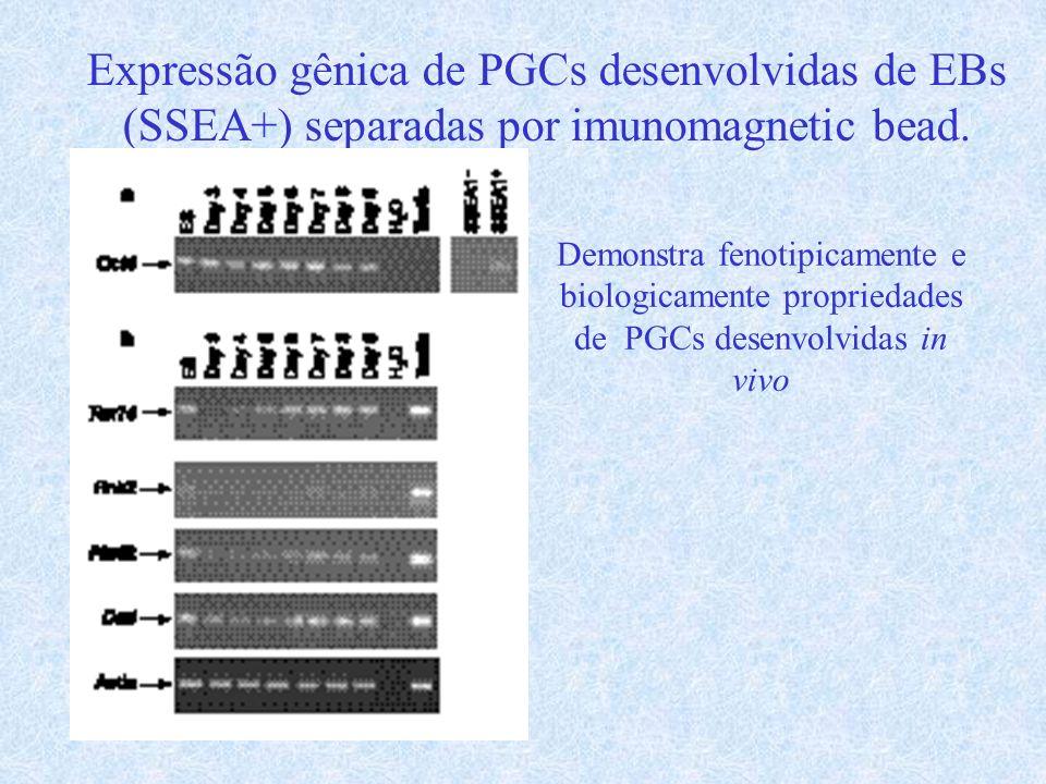 Expressão gênica de PGCs desenvolvidas de EBs (SSEA+) separadas por imunomagnetic bead. Demonstra fenotipicamente e biologicamente propriedades de PGC