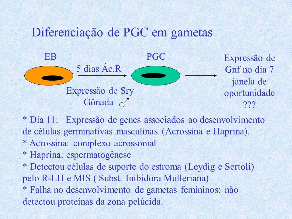 Diferenciação de PGC em gametas EB 5 dias Ác.R PGC Expressão de Gnf no dia 7 janela de oportunidade ??? Expressão de Sry Gônada * Dia 11: Expressão de