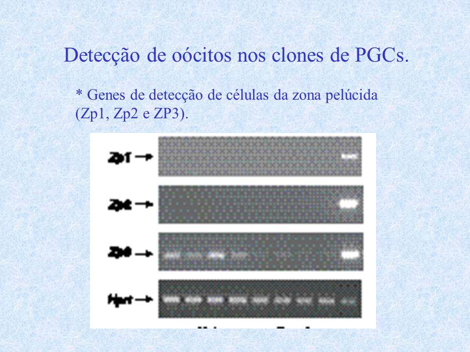 Detecção de oócitos nos clones de PGCs. * Genes de detecção de células da zona pelúcida (Zp1, Zp2 e ZP3).