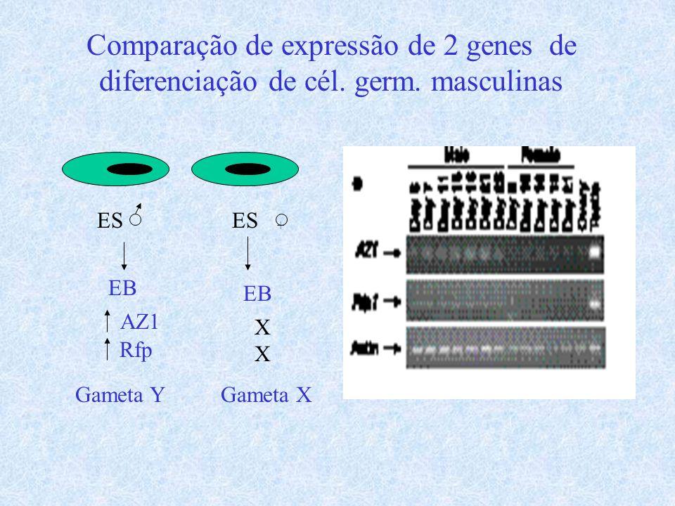 Comparação de expressão de 2 genes de diferenciação de cél. germ. masculinas ES EB AZ1 Rfp Gameta Y ES + EB XXXX Gameta X