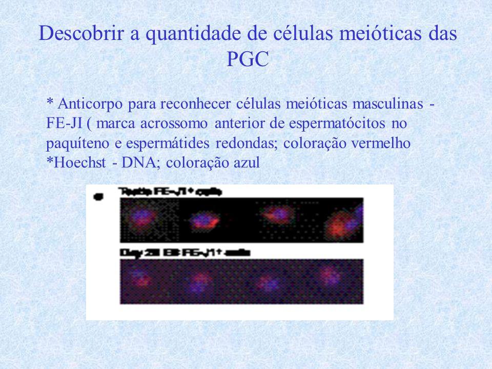 Descobrir a quantidade de células meióticas das PGC * Anticorpo para reconhecer células meióticas masculinas - FE-JI ( marca acrossomo anterior de esp