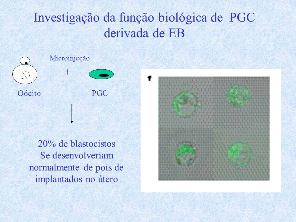 Investigação da função biológica de PGC derivada de EB Oócito + PGC 20% de blastocistos Se desenvolveriam normalmente de pois de implantados no útero