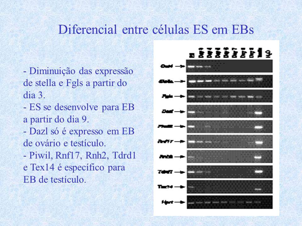 Diferencial entre células ES em EBs - Diminuição das expressão de stella e Fgls a partir do dia 3. - ES se desenvolve para EB a partir do dia 9. - Daz