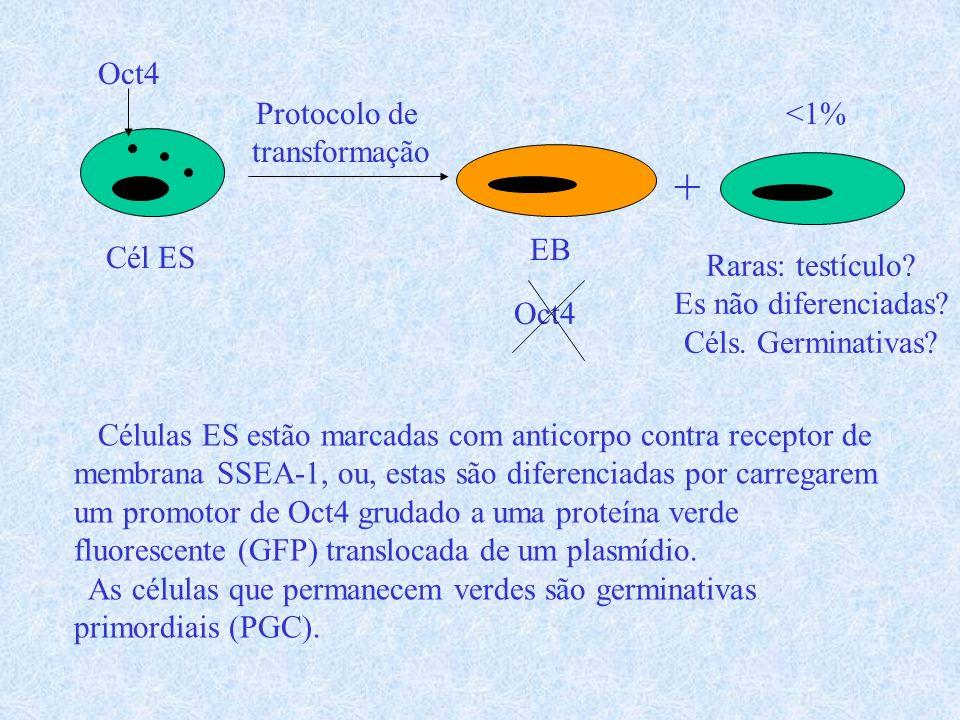 Cél ES Protocolo de transformação + EB Raras: testículo? Es não diferenciadas? Céls. Germinativas? Células ES estão marcadas com anticorpo contra rece