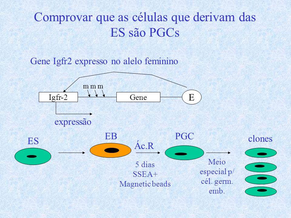 Comprovar que as células que derivam das ES são PGCs Gene Igfr2 expresso no alelo feminino Igfr-2Gene E mmm expressão ES Ác.R 5 dias SSEA+ Magnetic be