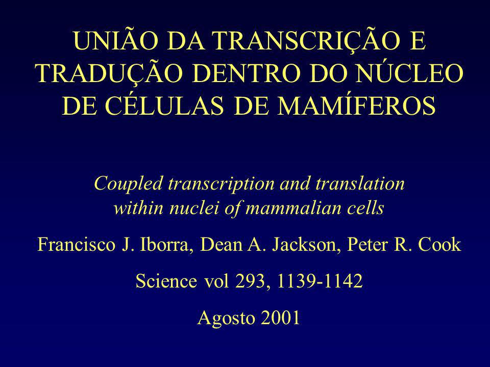 Imunolocalização da biotina Mesmo que os ribossomos citoplasmáticos tivessem entrado, eles não poderiam iniciar a tradução porque foi adicionado ATA (ácido aurintricarboxílico).