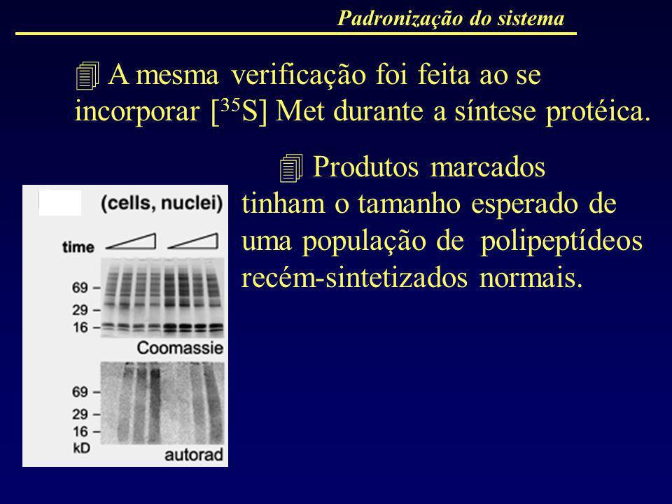 Padronização do sistema A mesma verificação foi feita ao se incorporar [ 35 S] Met durante a síntese protéica. Produtos marcados tinham o tamanho espe