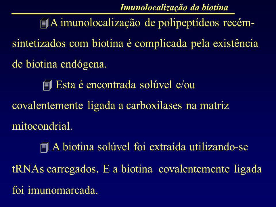 Imunolocalização da biotina A imunolocalização de polipeptídeos recém- sintetizados com biotina é complicada pela existência de biotina endógena. Esta