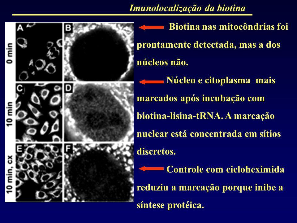 Imunolocalização da biotina Biotina nas mitocôndrias foi prontamente detectada, mas a dos núcleos não. Núcleo e citoplasma mais marcados após incubaçã