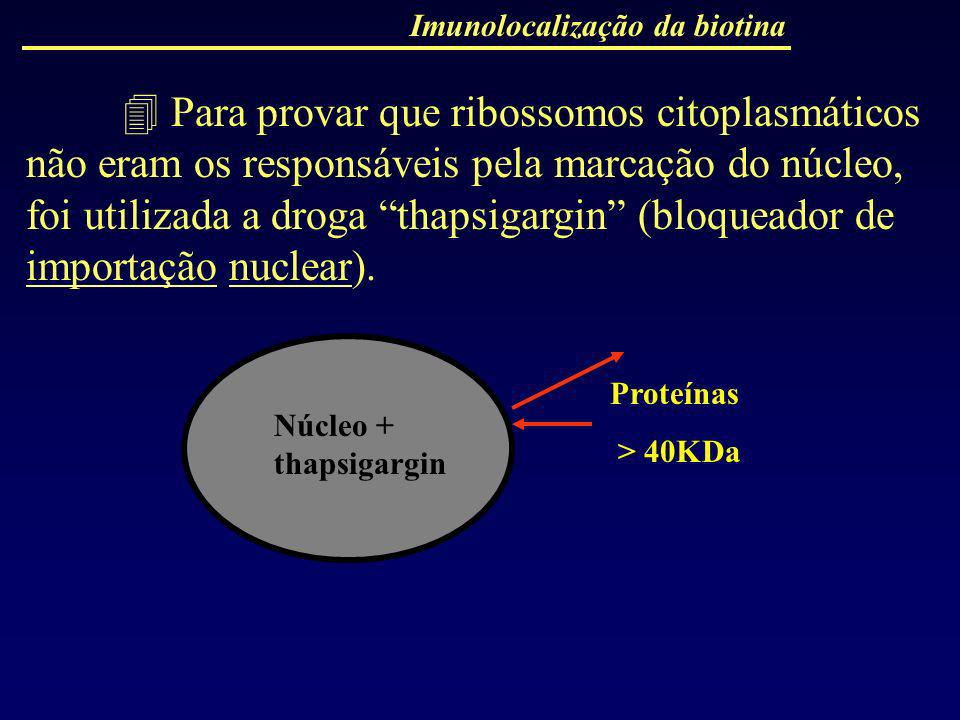 Para provar que ribossomos citoplasmáticos não eram os responsáveis pela marcação do núcleo, foi utilizada a droga thapsigargin (bloqueador de importa