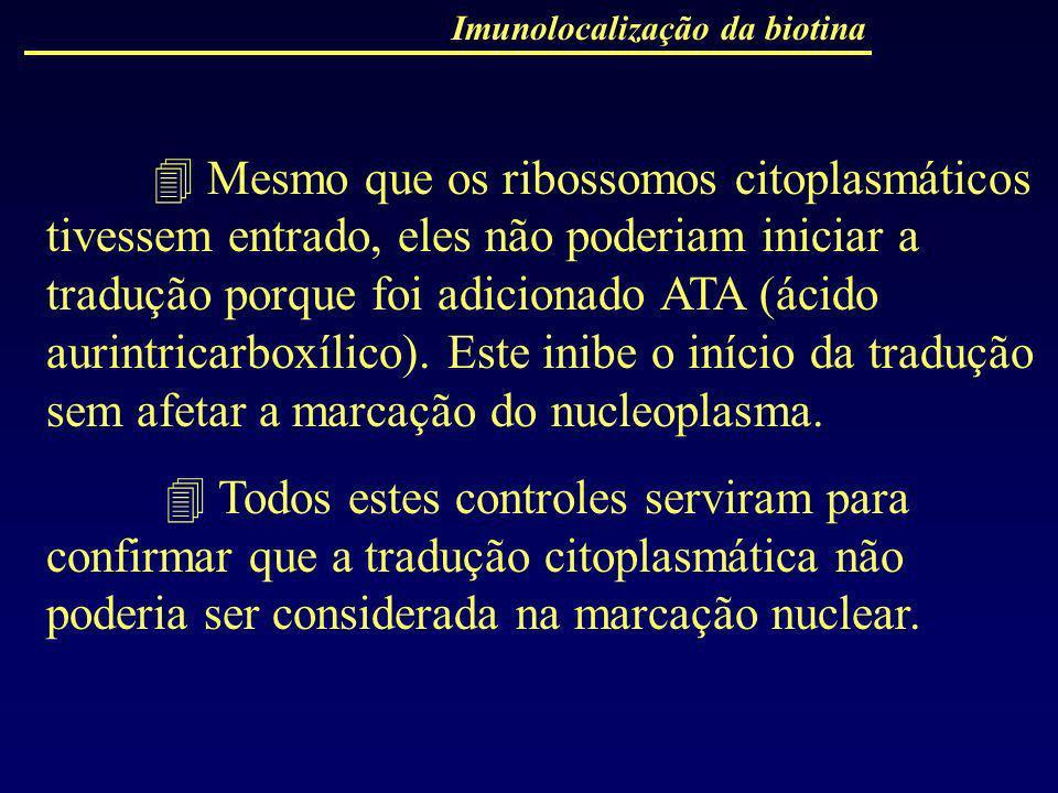 Imunolocalização da biotina Mesmo que os ribossomos citoplasmáticos tivessem entrado, eles não poderiam iniciar a tradução porque foi adicionado ATA (