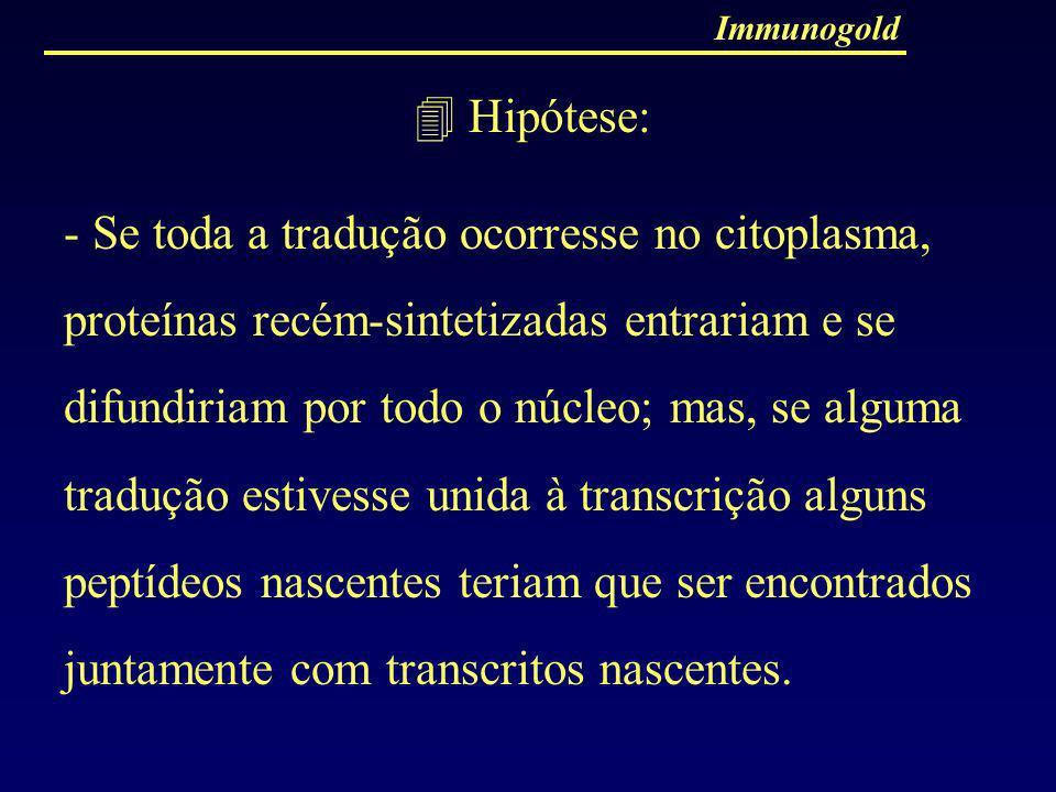 Immunogold Hipótese: - Se toda a tradução ocorresse no citoplasma, proteínas recém-sintetizadas entrariam e se difundiriam por todo o núcleo; mas, se